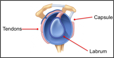 Eléments capsulo-ligamentaires