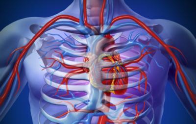 Artère et veine sous claviculaire passant à proximité de la clavicule.