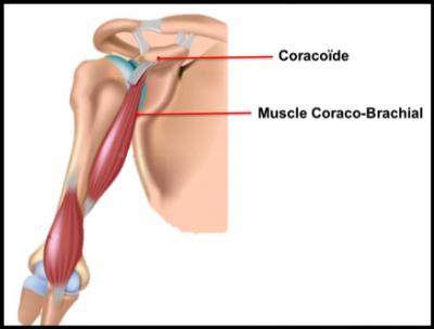 Coracoïde et muscle coraco-biceps.